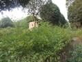南天竹绿化苗木,绿化色带,灌丛图片