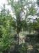 成都千蜀园林红梅梅花各种规格苗木供应