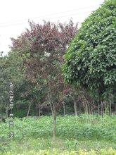 成都千蜀园林红叶碧桃乔木园林绿化树种
