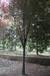 成都千蜀园林红叶李彩叶树种园林绿化