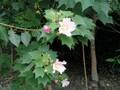 成都芙蓉花,成都木芙蓉基地,芙蓉花基地苗木供应图片