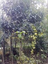 成都千蜀园林枇杷树果树绿化苗木