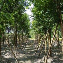 成都千蜀园林朴树园林绿化苗木供应