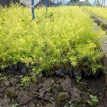 成都千蜀园林千层金彩叶树种绿化苗木