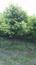 成都千蜀园林天竺桂,绿化苗木,笼子造型图片