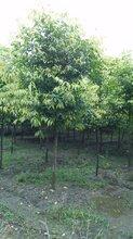 成都千蜀园林天竺桂,绿化苗木,笼子造型