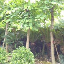 成都千蜀园林羊蹄甲园林绿化