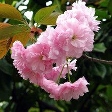 櫻花樹,日本晚櫻樹價格,櫻花種植基地苗木供銷圖片
