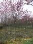 紫玉兰绿化苗木,绿化乔木,紫玉兰,园林绿化图片