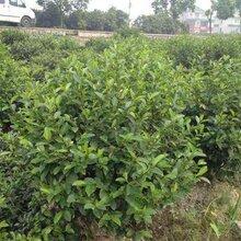 成都千蜀园林小叶含笑花灌木苗木供应