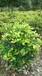 小葉女貞綠籬常綠灌木園林綠化