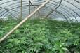 成都鸭脚木绿化小苗,常绿灌木小苗,杯苗鸭脚木