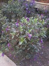 巴西野牡丹—花灌木—绿化苗木批发