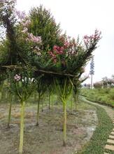 成都园林绿化紫薇造型,紫薇亭子图片