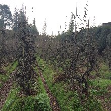 贴梗海棠曲干式造型成都千蜀园林