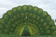 定制公园绿雕,大型景观小品孔雀
