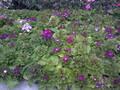 瓜叶菊,成都草花,草花地被植物图片