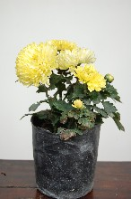 菊花地被花卉供应草本花卉
