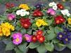 欧洲报春草本花卉地被植物