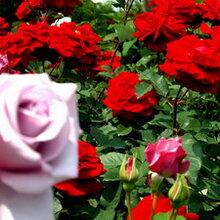 蔷薇花月季花花灌木花卉