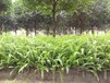 肾厥蕨类植物耐阴植物地被草本