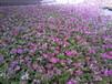 四季樱草草本花卉园林绿化