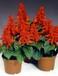 一串红花卉草花植物盆苗供应