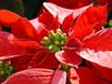 一品红彩叶植物红叶草本植物盆苗