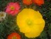 虞美人草本花卉