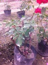 月季花栽植,大花月季苗木基地,玫瑰花出售图片