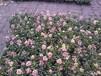 紫罗兰草本花卉绿化植物花坛花镜