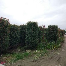 红叶石楠、多种规格石楠柱图片