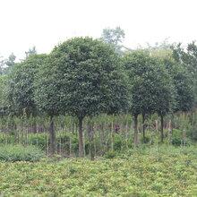 八月桂桂花树常绿乔木10-12公分