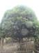 桂花树品种及价格金桂、丹桂桂花供应
