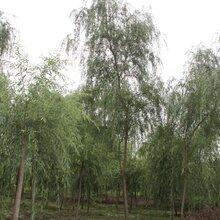 柳树,香樟,银杏,桂花等乔木,园林绿化苗木供应