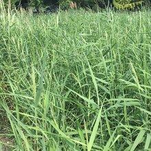 芦苇种植水生植物湿地绿化