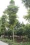 四川小叶桢楠,小叶桢楠苗木价格,优质楠木图片