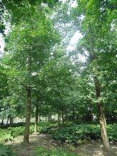 20公分银杏上车价-单杆银杏好树形出售-千蜀园林供应