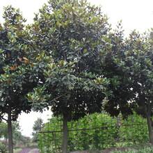 四川优质广玉兰树价格,广玉兰绿化苗木,成都广玉兰树图片