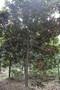 广玉兰苗木基地,玉兰花树,成都广玉兰苗木图片
