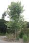 大叶香樟绿化苗木多少钱,香樟树绿化苗木图片