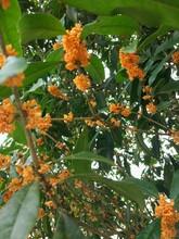 成都桂花基地绿化苗木25公分图片