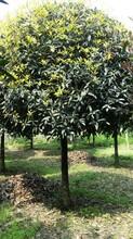 购买桂花树,成都金桂树,桂花苗木基地图片