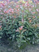 红叶石楠绿化苗木,优质红叶石楠,红叶石楠价格图片