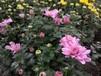 多头菊花、玛格丽特,木茼蒿菊花、成都草花地被植物