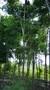 四川栾树价格,园林绿化苗木图片