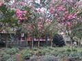 四川红紫薇,紫薇树,紫薇造型,成都红花紫薇图片