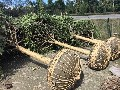 成都桂花树供应,贵州优质桂花高分枝行道树图片