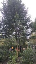 四川乐昌含笑树园林绿化苗木图片
