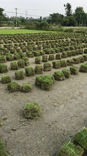 草皮出售,台湾二号,结缕草,绿化草坪